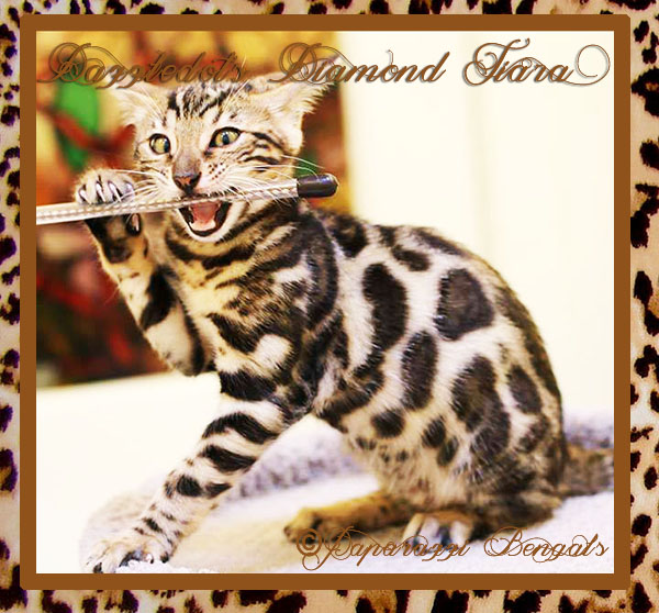 PAPARAZZI BENGALS of VICTORIA, BC ~ HOME PAGE